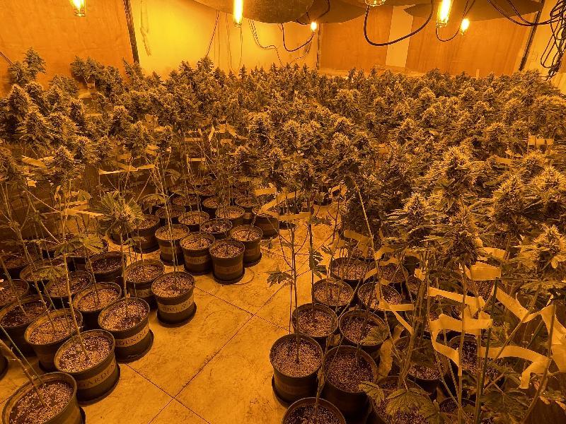 香港海關於元朗搗破歷年最大宗懷疑大麻栽植場案件